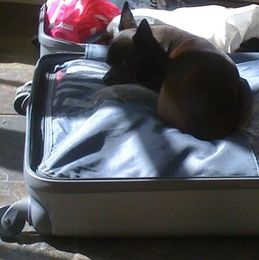 Chihuahua Coco in Suitcase